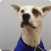 Adopt A Pet :: Chaco - Buena Vista, CO