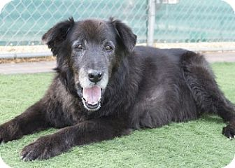 Shepherd (Unknown Type)/Labrador Retriever Mix Dog for adoption in Agoura, California - Ty