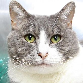Domestic Shorthair Cat for adoption in Stanhope, New Jersey - Victoria