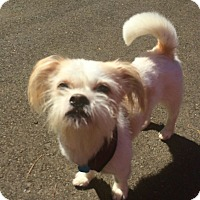 "Shih Tzu/Terrier (Unknown Type, Small) Mix Dog for adoption in Seattle, Washington - ""Louie"""