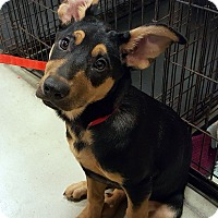 Adopt A Pet :: Sugar Plum Mary - Detroit, MI