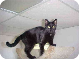 Domestic Shorthair Kitten for adoption in Quincy, Massachusetts - Breezy