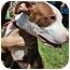 Photo 1 - American Pit Bull Terrier Mix Dog for adoption in Orlando, Florida - Diamond