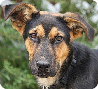 German Shepherd Dog Mix Puppy for adoption in Los Angeles, California - Gage von Geyer