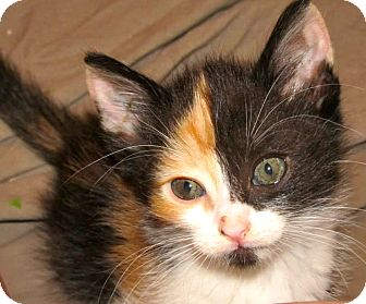Calico Kitten for adoption in Escondido, California - Rose