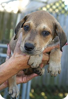 Rhodesian Ridgeback/Black Mouth Cur Mix Puppy for adoption in Englewood, Florida - Stan