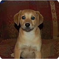 Adopt A Pet :: Ginger Girl - Chula Vista, CA
