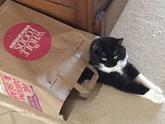 American Shorthair Cat for adoption in Bonita Springs, Florida - Cosmo