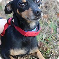 Adopt A Pet :: Ollie - Waldorf, MD