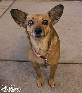 Chihuahua/Dachshund Mix Dog for adoption in Mooresville, North Carolina - Annabelle