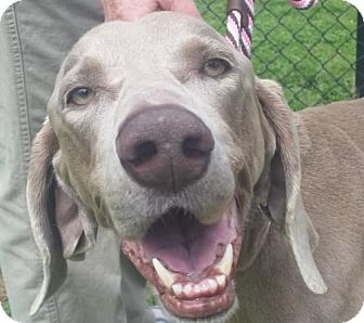 Weimaraner Dog for adoption in Birmingham, Alabama - Lilly