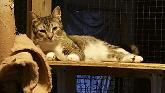 Domestic Shorthair Kitten for adoption in Columbia, South Carolina - Cindy
