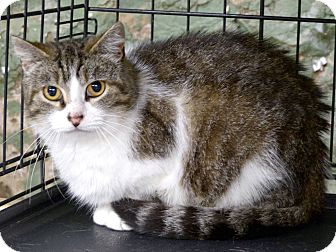 Domestic Shorthair Cat for adoption in Marlinton, West Virginia - Shawna