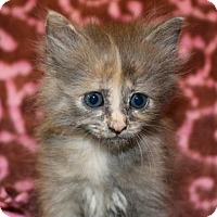 Adopt A Pet :: Misty - Chester Springs, PA