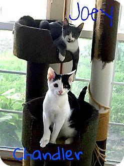 Domestic Shorthair Kitten for adoption in Steger, Illinois - Joey and Chandler