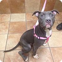 Adopt A Pet :: Shadow (foster care) - Philadelphia, PA