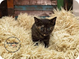 Domestic Shorthair Kitten for adoption in Freeport, New York - Cariann