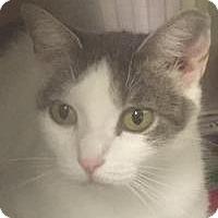 Adopt A Pet :: Koshka-I'm at Petsmart! - Manchester, NH