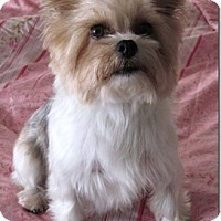 Yorkie, Yorkshire Terrier Dog for adoption in Temecula, California - GiGi