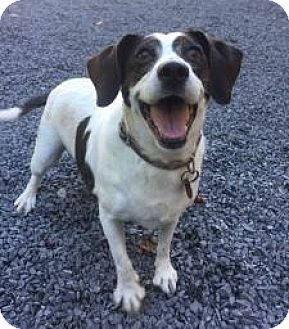 Beagle/Jack Russell Terrier Mix Dog for adoption in Grafton, Massachusetts - Princess