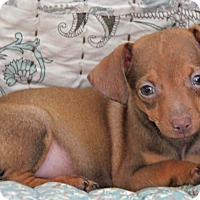 Chihuahua/Dachshund Mix Puppy for adoption in Yuba City, California - Mini