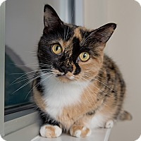 Domestic Shorthair Cat for adoption in Wilmington, Delaware - Snickers
