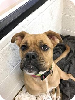 Bulldog/Rottweiler Mix Dog for adoption in Miami, Florida - piglet