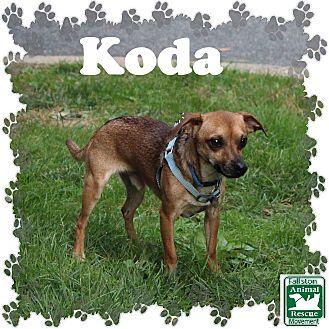 Chihuahua Mix Dog for adoption in Fallston, Maryland - Koda