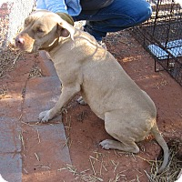 Pit Bull Terrier/Shar Pei Mix Dog for adoption in Jemez Springs, New Mexico - Abigail