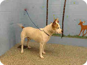 Pit Bull Terrier Mix Dog for adoption in San Bernardino, California - URGENT NOW!  San Bernardino