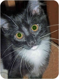 Domestic Shorthair Kitten for adoption in San Ramon, California - Pumpernickel