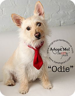 Cairn Terrier/Westie, West Highland White Terrier Mix Dog for adoption in Omaha, Nebraska - Wally/Odie-pending adoption