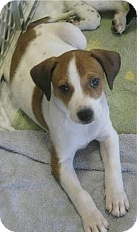Border Collie/German Shepherd Dog Mix Puppy for adoption in Phoenix, Arizona - Hailey