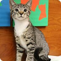 Domestic Shorthair Kitten for adoption in Greensboro, Georgia - Bridgette