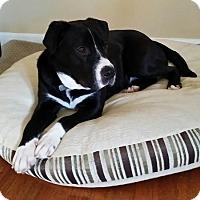 Adopt A Pet :: Buddy - Hanover, PA