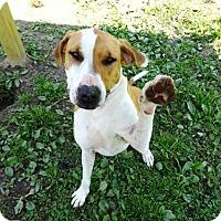 Adopt A Pet :: Abby - Belleville, MI