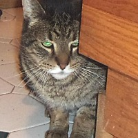 Domestic Shorthair Cat for adoption in Jamaica Plain, Massachusetts - Cuba