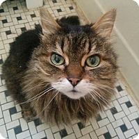 Hemingway/Polydactyl Cat for adoption in Toronto, Ontario - Maggie