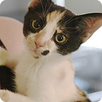 Domestic Shorthair Kitten for adoption in Marietta, Georgia - Flower
