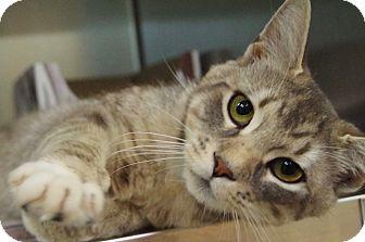 Domestic Shorthair Cat for adoption in Daytona Beach, Florida - Gary
