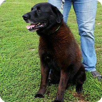 Labrador Retriever/Chow Chow Mix Dog for adoption in Hamilton, Georgia - Marco