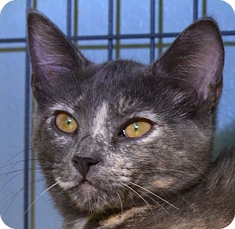 Domestic Shorthair Kitten for adoption in Tomball, Texas - Tess