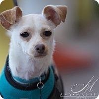 Chihuahua/Italian Greyhound Mix Dog for adoption in Vista, California - Ellie