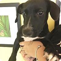 Adopt A Pet :: Cheyenne - Boca Raton, FL