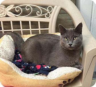 Russian Blue Kitten for adoption in Lakewood, Colorado - Smokey