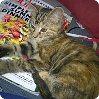Domestic Shorthair Kitten for adoption in Wamego, Kansas - Samantha