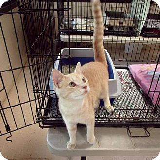 Domestic Shorthair Cat for adoption in Albemarle, North Carolina - Buckwheat
