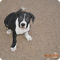 Staffordshire Bull Terrier/Boxer Mix Puppy for adoption in Chandler, Arizona - TOOTSIE