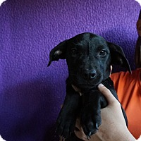 Adopt A Pet :: Dixie - Oviedo, FL