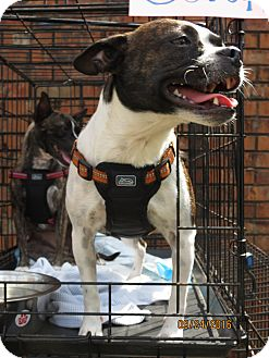 Boston Terrier Mix Puppy for adoption in Northport, Alabama - Sarah